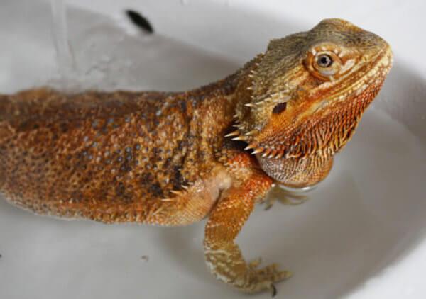 Bearded Dragon Bath Time