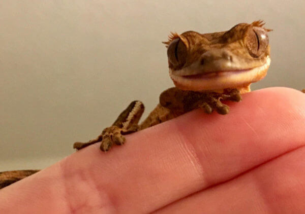 Meet My New Crested Gecko