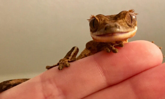 Meet My New Crested Gecko