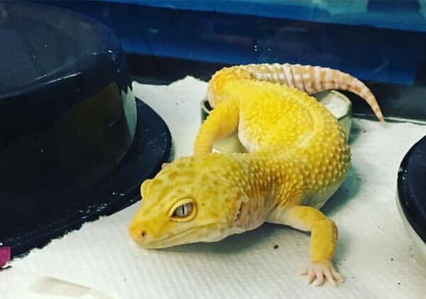Can anyone identify my leopard gecko's morph?