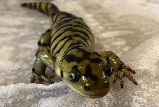Tiger Salamander Care Guide