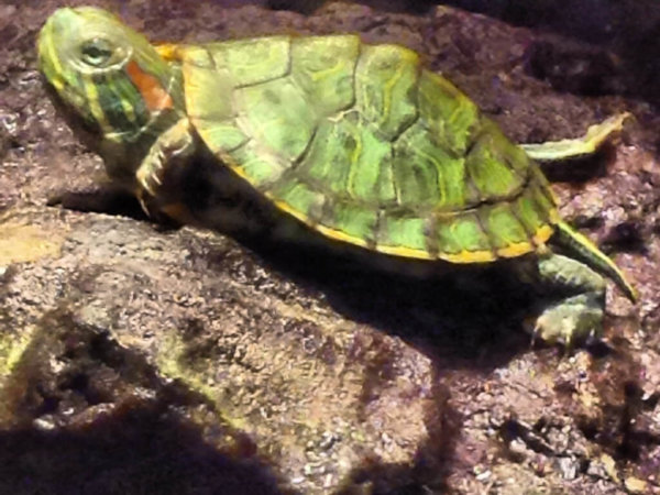 Red Eared Slider Care Guide!
