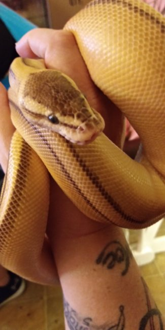 Pastel butter genetic stripe yellow belly ball python