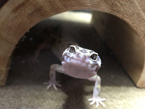 Pepper the leopard gecko
