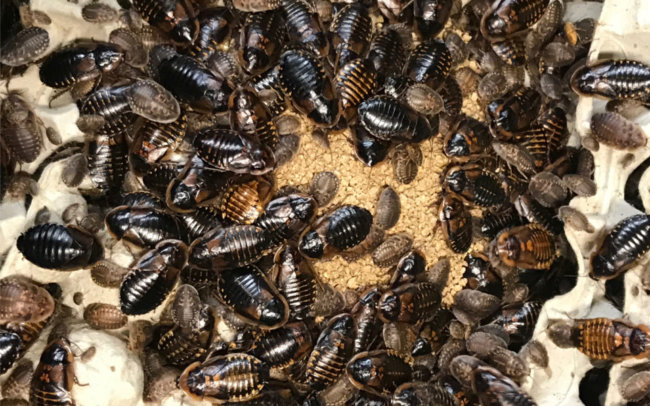 Dubia Roaches vs. Discoid Roaches – What's the Difference?