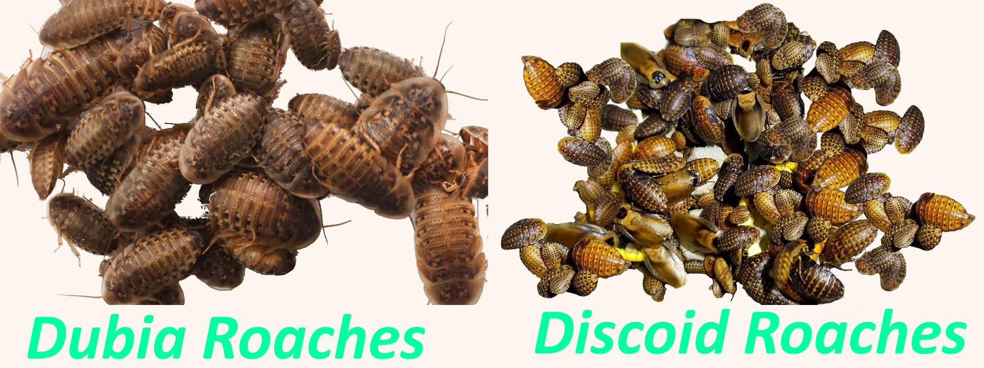 difference between dubia and discoid roaches