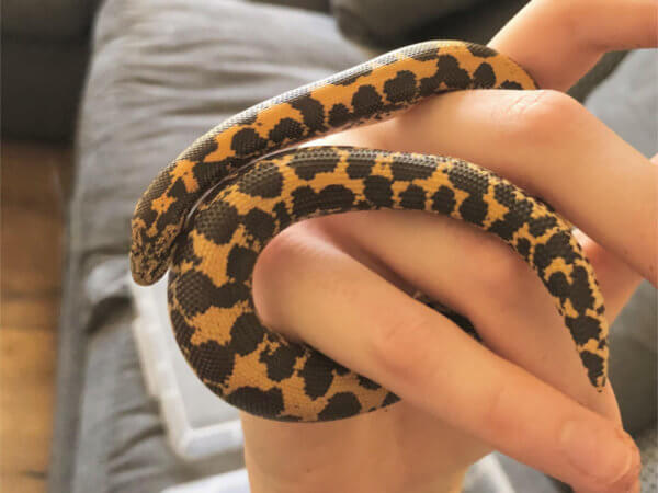 Kenyan Sand Boa Care Guide