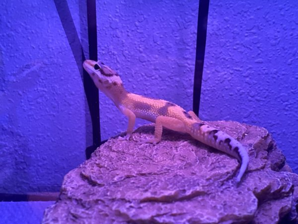 Speedy the Gecko