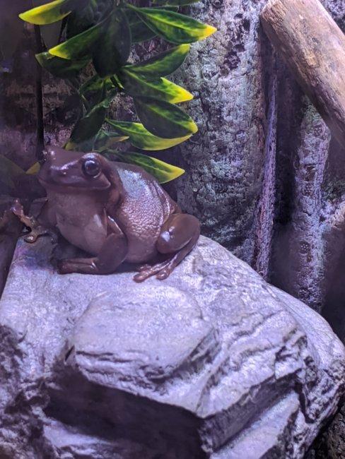 My tree frog (We call him fat bastard lol)