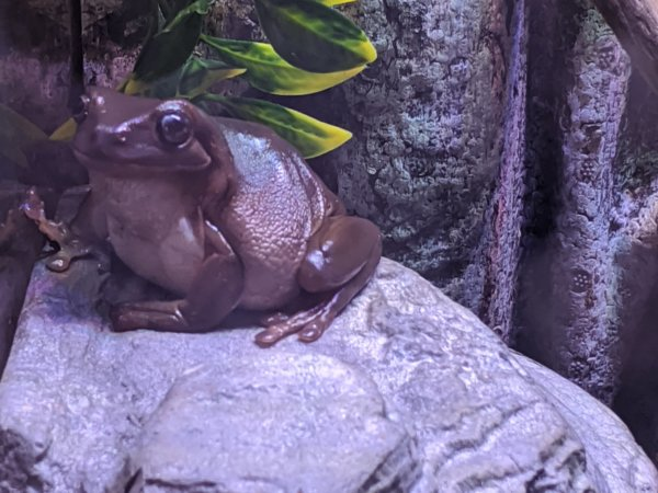 My tree frog (We call him fat bastard lol)