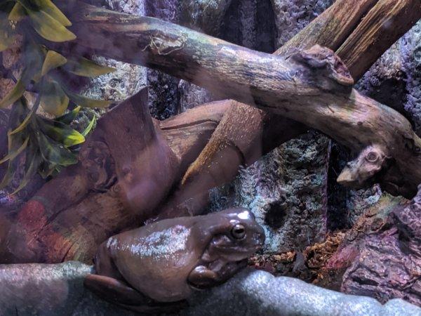 My fat tree frog (We call him fat bastard lol)