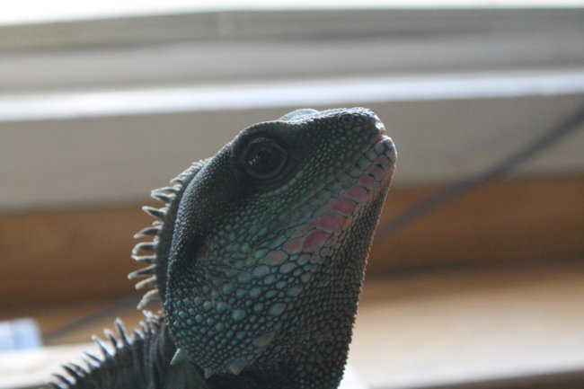 ArtimusPrime, he is a 7 year old Chinese Water Dragon :-)