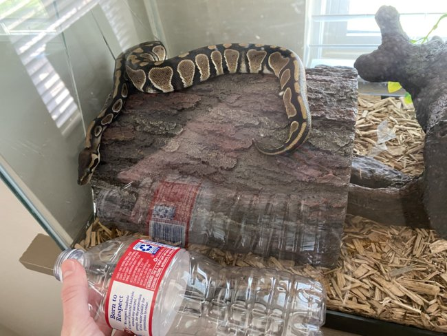Trying to decide what size rats to order for my ball python.