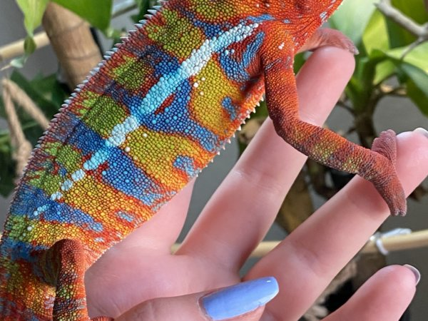 Axel the Ambilobe Panther Chameleon