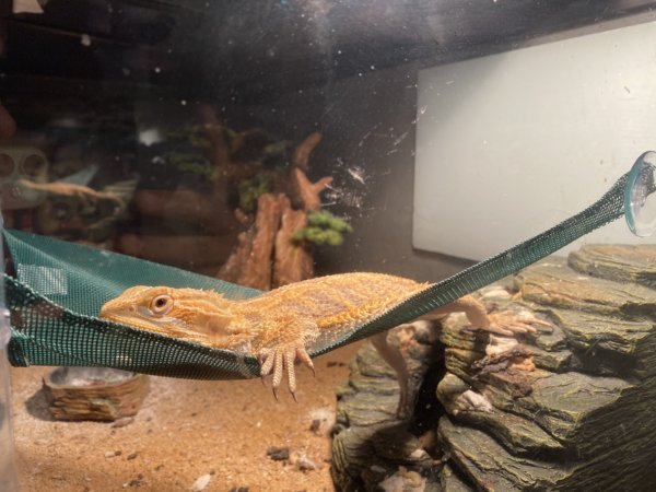 Tiger the most loving and grump bearded dragon