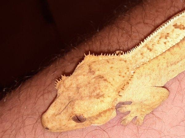 Crested gecko has deformed ear