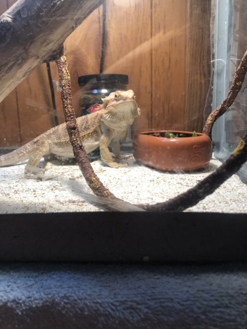 My bearded dragon Horny