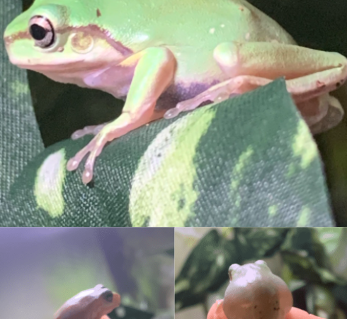 New White Tree Frog Owner — Is this normal?