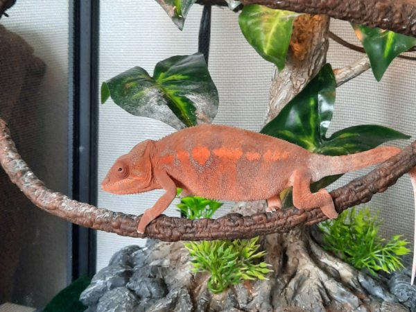 This is Q! She is a panter chameleon.