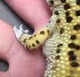 Fat Pouches under Leopard Gecko's armpits