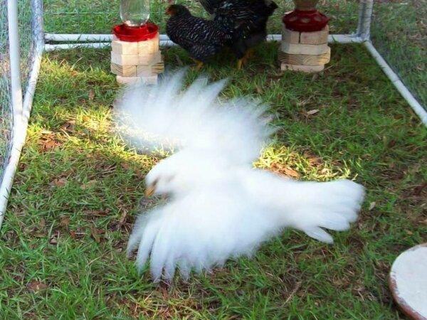 Whitey our Ameraucana Chicken