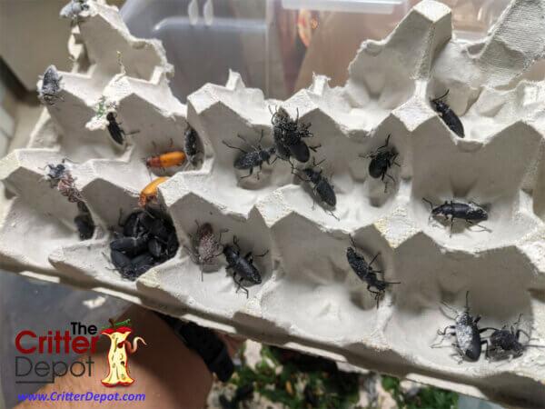 Zophobas Morio Beetles!